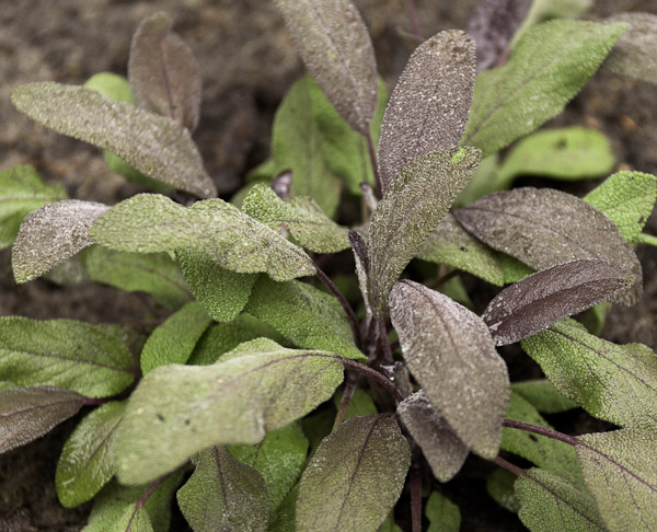 Paarse salie - Salvia officinalis, Purpurea